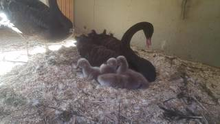 Black swan baby Cygnets born on the Lifeacre