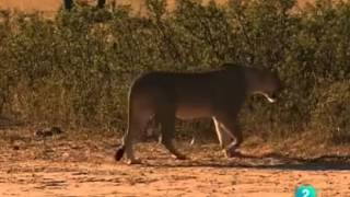 Documental  Leones crueles