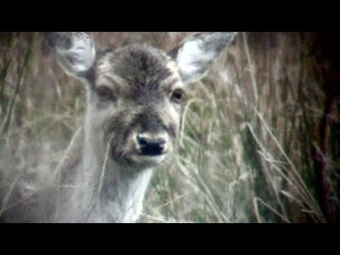 How to head shoot deer out hunting