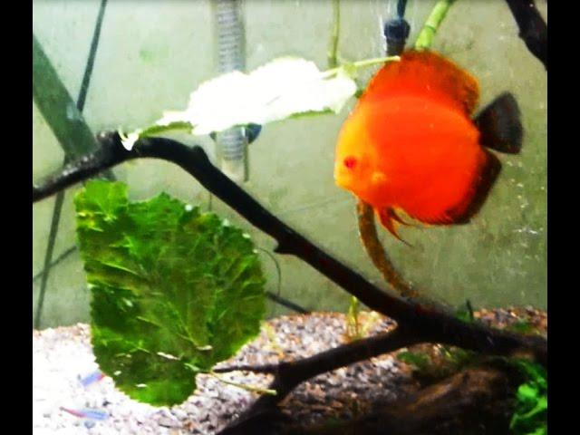 Mulberry Leaves for planted aquarium tank discus. Help Improve Fish health & Fight Bacteria.