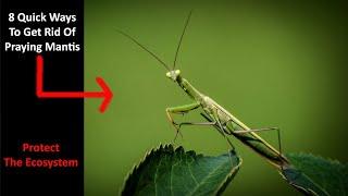 8 Quick Ways To Get Rid Of Praying Mantis