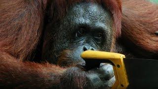 Orangutan Saws Branches For Fun | Spy In The Wild | BBC Earth