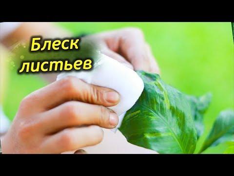 Шик и БЛЕСК комнатных растений. Полировка листьев в домашних условиях.