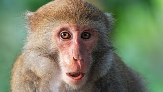 Can Monkeys Talk Like Humans? thumbnail