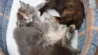Калинка, Кукла и Купава (1 месяц) котята мейн-кун