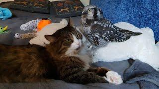 Warning - cuteness! It happened: Owl Iva managed to trample Murlok the cat!