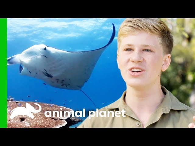 Robert Goes Deep Sea Diving With Manta Rays! | Crikey! It's The Irwins