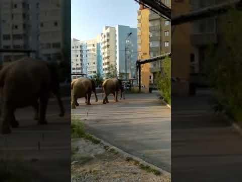 В Якутске выгуливают цирковых слонов
