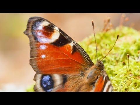 Микроистория. «Настоящие насекомые & Ко» - Превращение бабочки