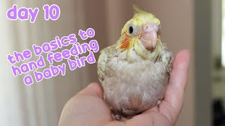 🍼 A Day in the Life of a Baby Cockatiel: The Basic to Hand Feeding a Baby Bird + Weaning: Day 10 🐤