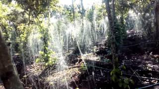 Dây tưới dẹp phun mưa cho hồ tiêu ở Đắc Lắc (Việt An Nông)
