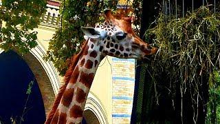 Жирафы. Видео с Жирафами. Жирафы Видео. Жирафы Кушают. Футажи для видеомонтажа