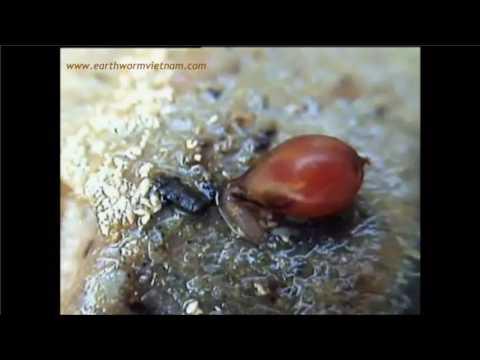 Worm medicating bagong