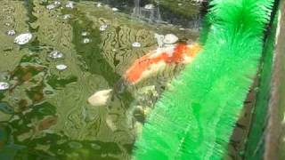 My Koi Spawning ....again
