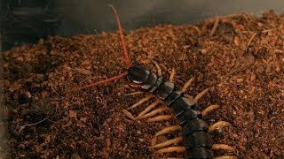 5 Vietnamese Centipede Facts & Care Tips | Pet Tarantulas