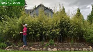 Clumping Bamboo - How Fast Does It Grow?
