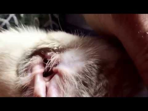 Video How to clean kittens ears mites