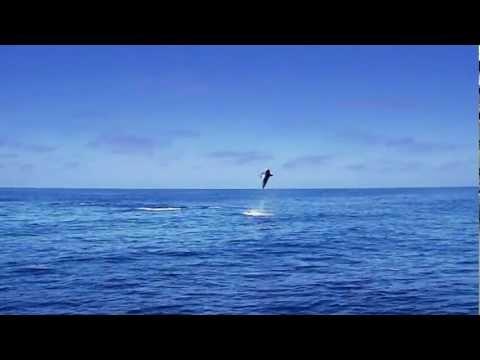 fly fishing shark