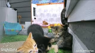 Fewocious kitten attacks sleepy kitten!  TinyKittens.com