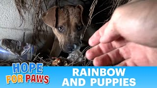 Hope For Paws: Homeless Pit Bull gives birth in a den during a massive rainstorm. SO MANY PUPPIES!