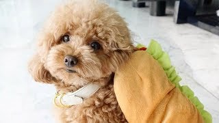 Toy Poodle - Funny Poodles - Poodle Puppy -  Cute Poodle – Poodle Video Compilation #1