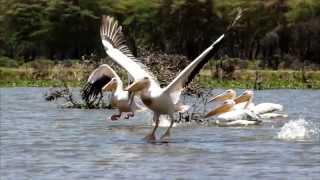 צילומי ציפורים מאגם נאוושה בקניה (אפריקה) משולבים בסרטון
