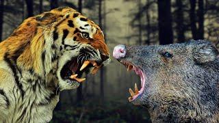 Тигр против кабана. Кто сильнее кабан или тигр ?