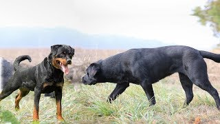 Rottweiler Vs Labrador | Characteristics Comparison 2019 | Dog Lovers