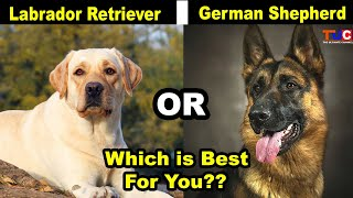 Labrador Retriever Or German Shepherd, Which One Is Best For You As Pet : TUC