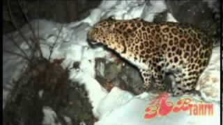 леопарды и ягуары, дальневосточный леопард