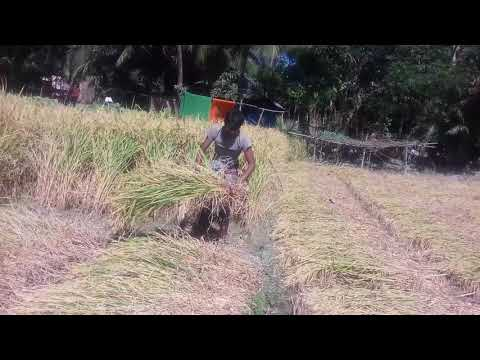 Crop Cutting Festival of Transplanted Aman Rice At Begumganj Upazila of Noakhali District-2018