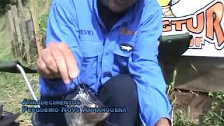 Como iscar a cabeça de tilápia
