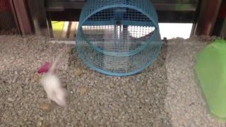 Mouse runs circles around wheel