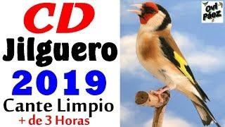 CD Canto Del Jilguero Limpio 2019   Chant Chardonneret 2019