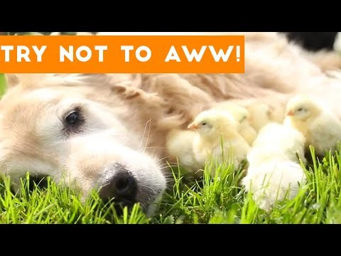 Try Not to AWW! at These Cute and Funny Animals   Funny Pet Videos