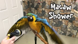 Rachel Blue and Gold Macaw - Showering Macaw