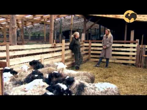 , title : 'Овцеводство. Многопородное скрещивание овец. Живой дом 123.