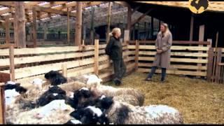 Смотреть онлайн Скрещивание нескольких пород овец