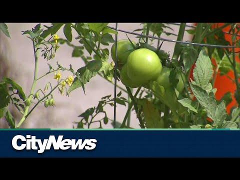 Demonstration: Residents turn pothole into community tomato garden