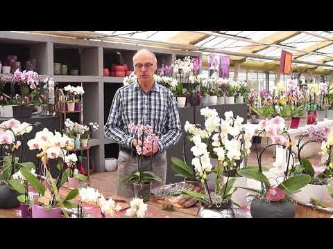 Orchideen kaufen, worauf sollten Sie achten. Profitipps vom Orchideengärtner