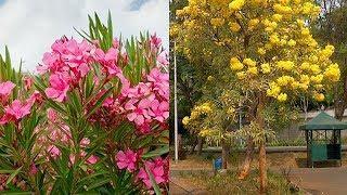 Bunga Jepun Oleander, Tanaman Hias Populer di Indonesia yang Ternyata Paling Mematikan