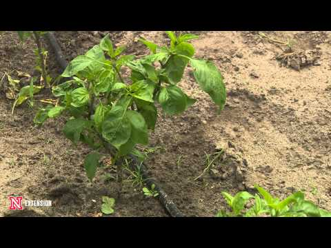 Video Bacterial Disease on Peppers