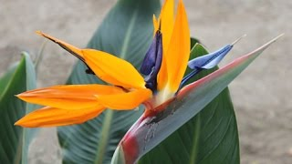 Strelitzia reginae - Bird of Paradise; Crane Flower