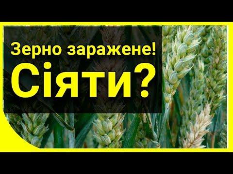 Фузариозное зерно. Можно ли сеять?