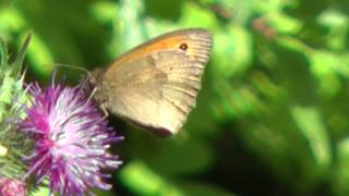 preview picture of video 'Small Heath Butterfly at Standalone Farm, Letchworth - June 2014'
