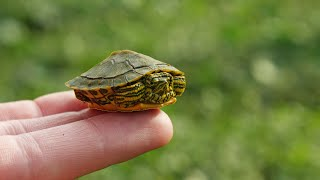 I Found a Baby Turtle!