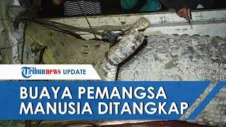 Video Penangkapan Buaya Sepanjang 4,3 Meter Pemangsa Wanita, Dipancing Bangkai Ayam