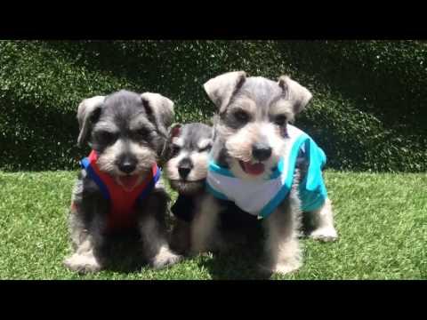 Male Mini Schnauzer Puppies