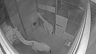 Perth Zoo Giraffe Live Stream