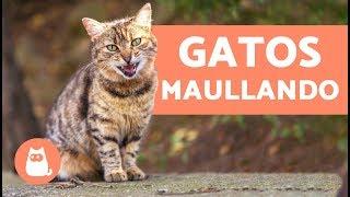 Preciosos gatos maullando - Cats meowing